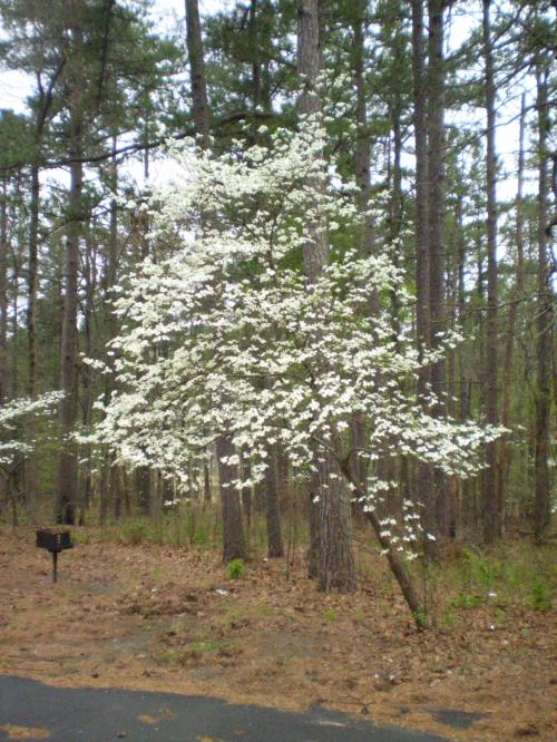 The dogwoods were everywhere, most in full bloom. Beautiful!